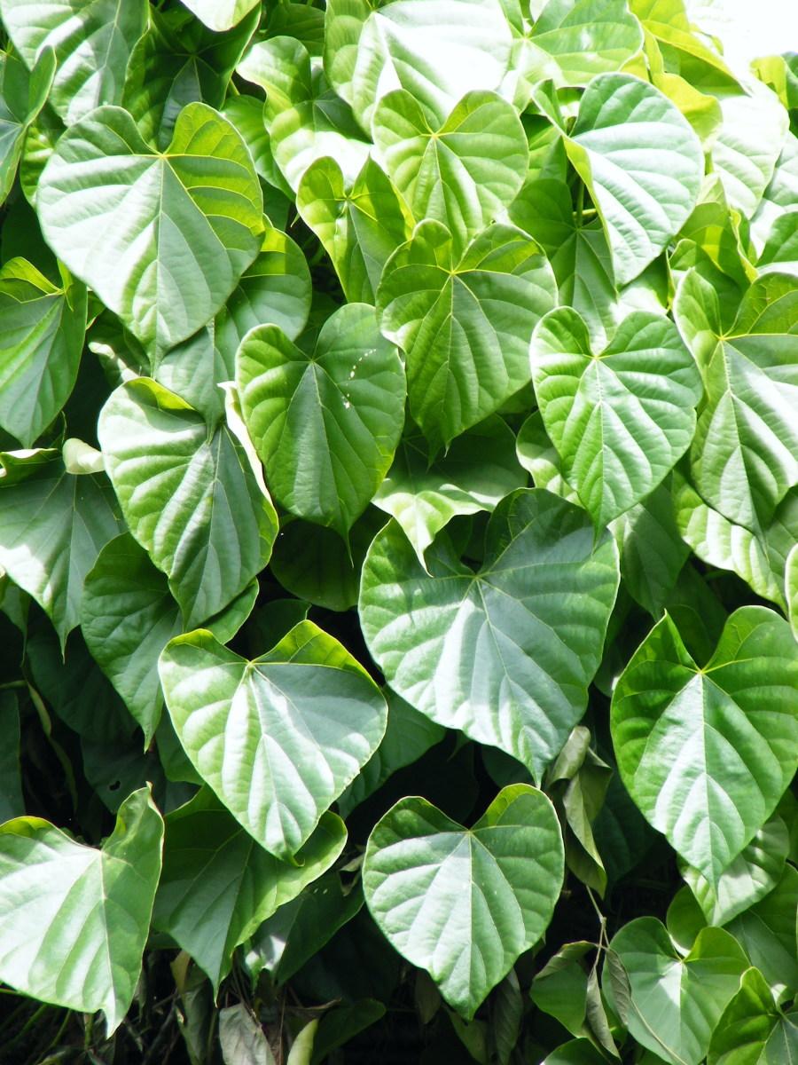 Ayurvedic Herb - Guduchi, Giloy or Amrita And Its Health Benefits