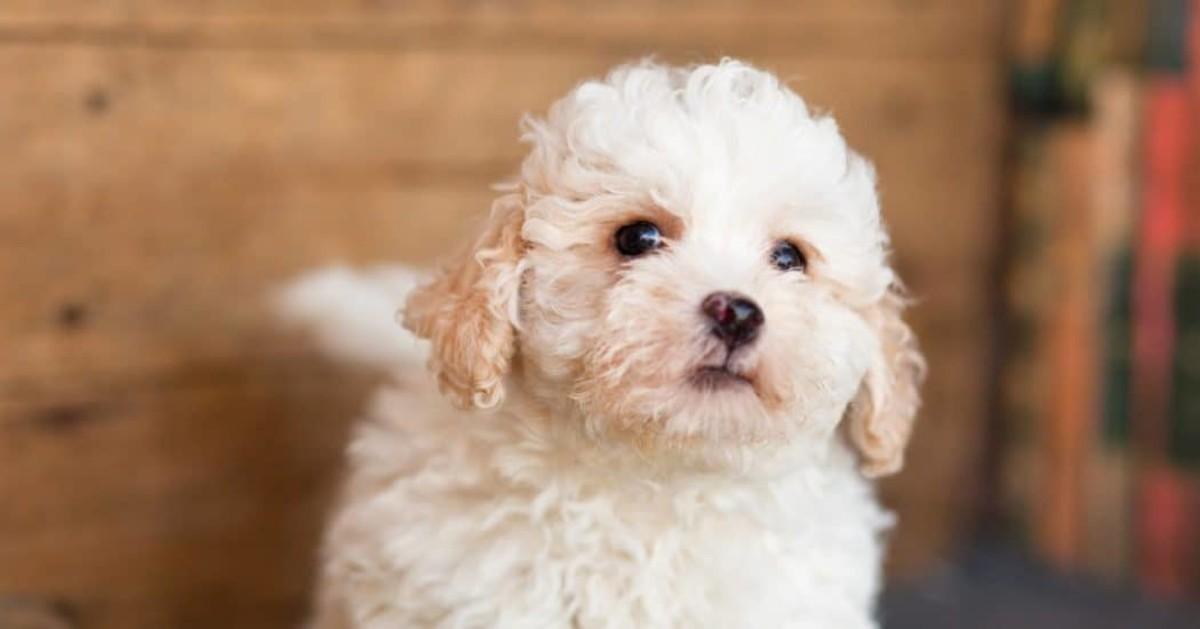 10 Most Popular Poodle Mix Dog Breeds