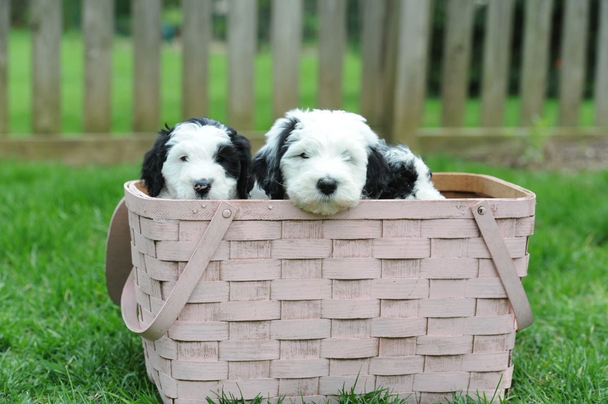 Poodle mix dogs, Sheepadoodle