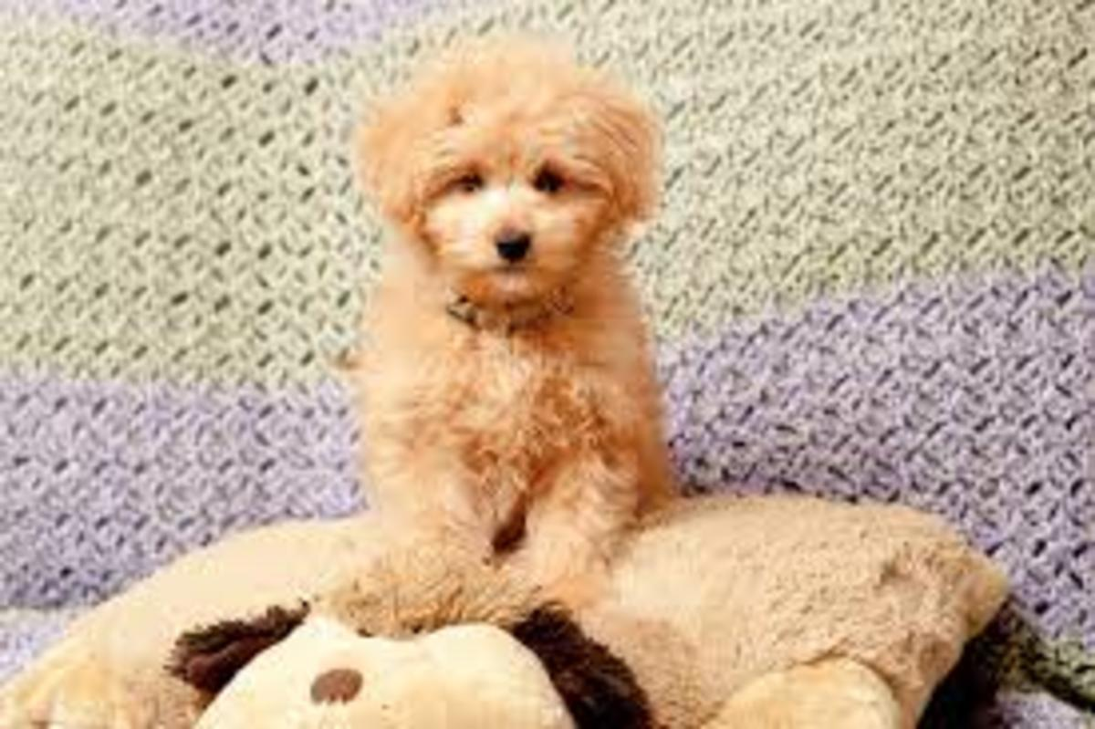 Poodle mix dog, Pomapoo