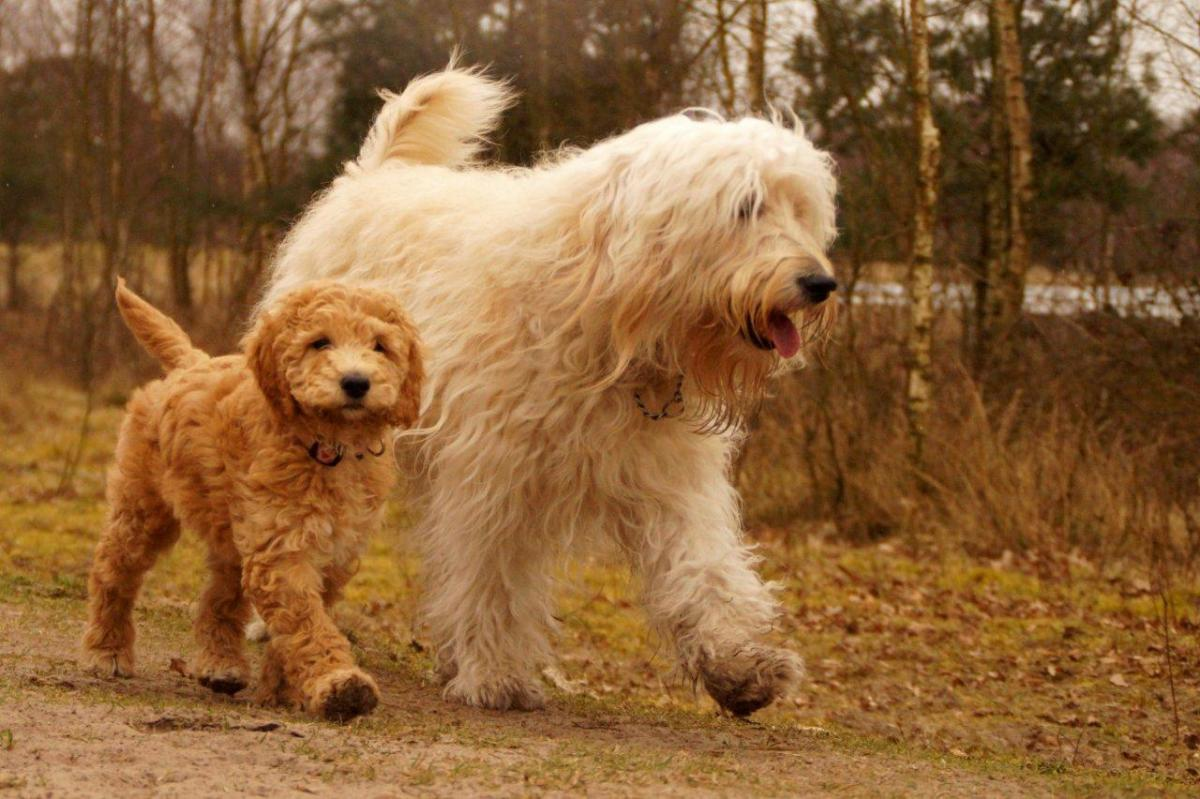 Most popular Poodle mix dog, Goldendoodle