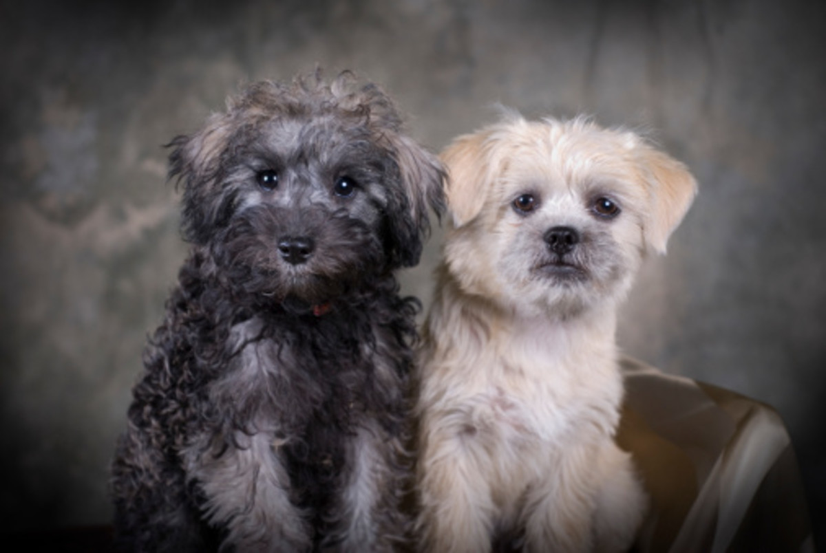Schnoodle : The poodle mix dog