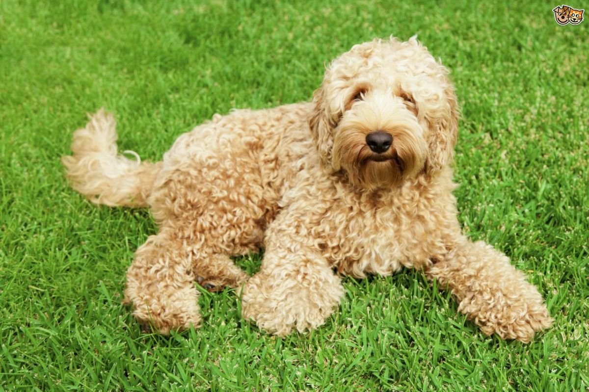 Labradoodle:Top most demanded poodle mix dog breed