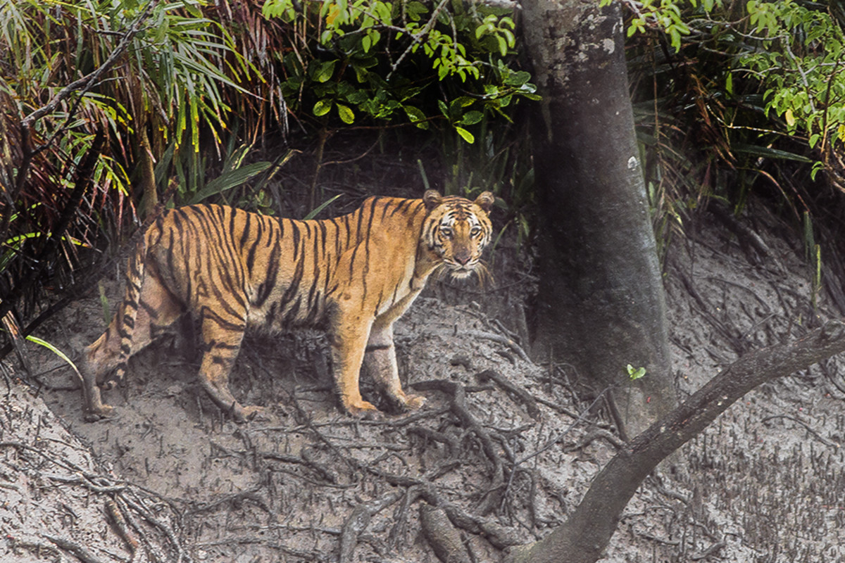 Bengal Tiger on the mud banks in the Sundarban Reserve
