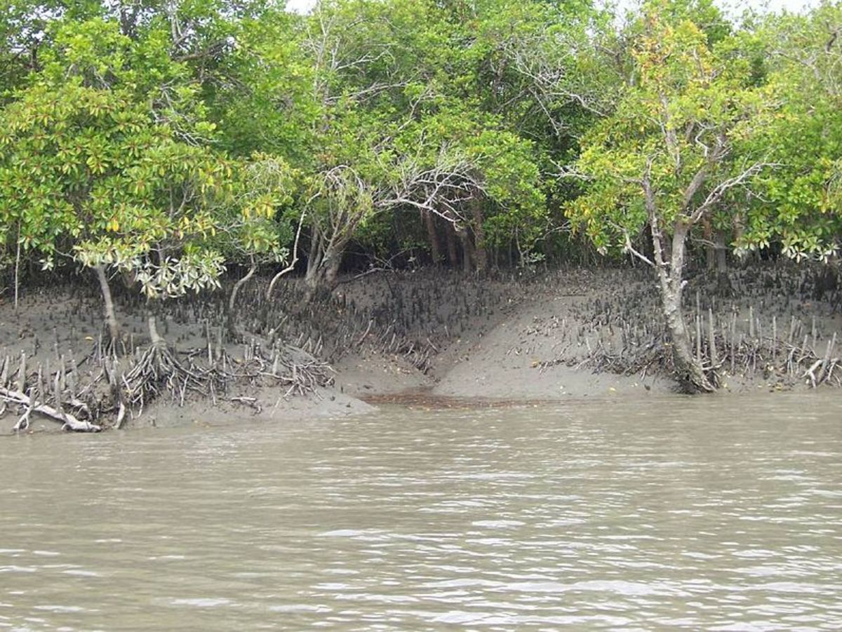 Mangroves by the water, looking into a small creek