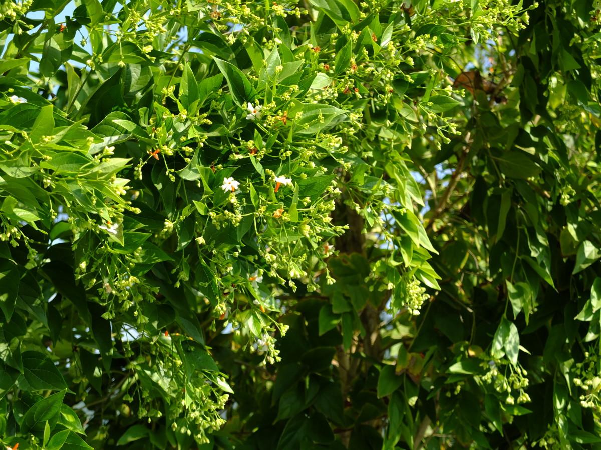 Night Jasmine (Harsingar, Parijat) and Its Health Benefits and Herbal Remedies