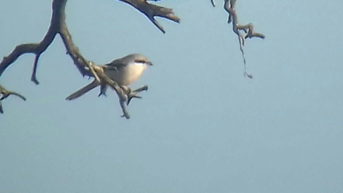 birding-trip-report-great-grey-shrike-at-cannock-chase-staffordshire-12112018