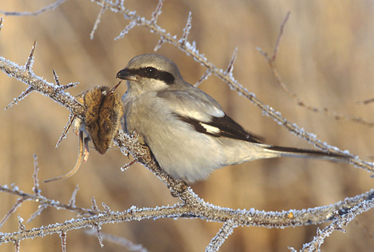 A picture of a Great Grey Shrike complete with a recently killed mouse impaled on a thorne. Source: Marek Szczepanek via Wikimedia Commons