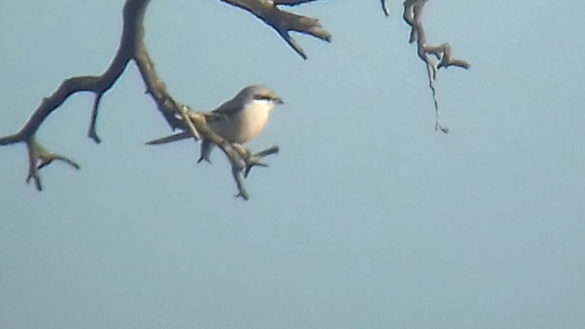 A couple of record shots that I managed to get of the Great Grey Shrike on a bright sunny day in mid November. Source: James Kenny