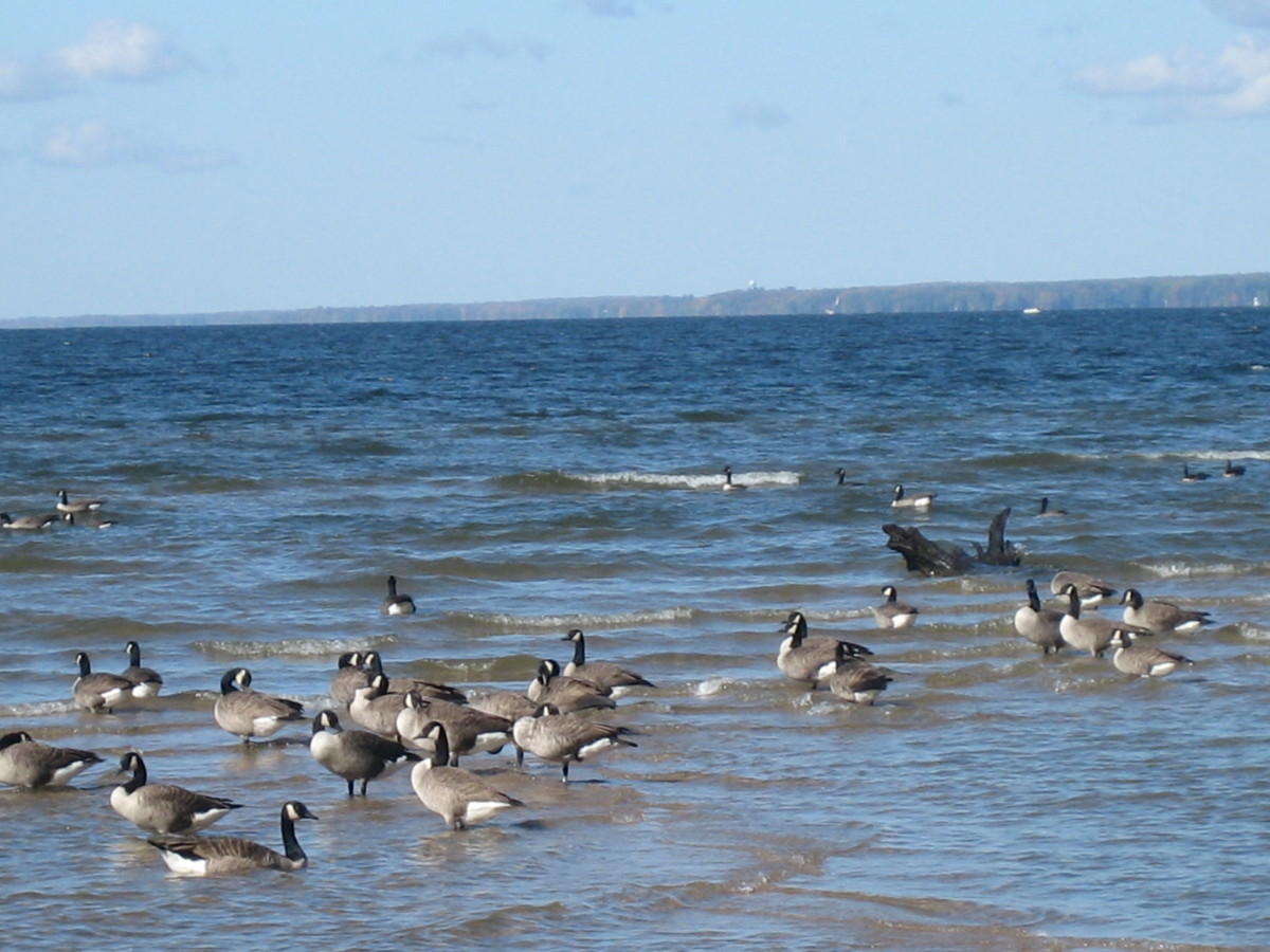 Canada Geese on Lake Oneida, at Verona Beach State Park in New York State.