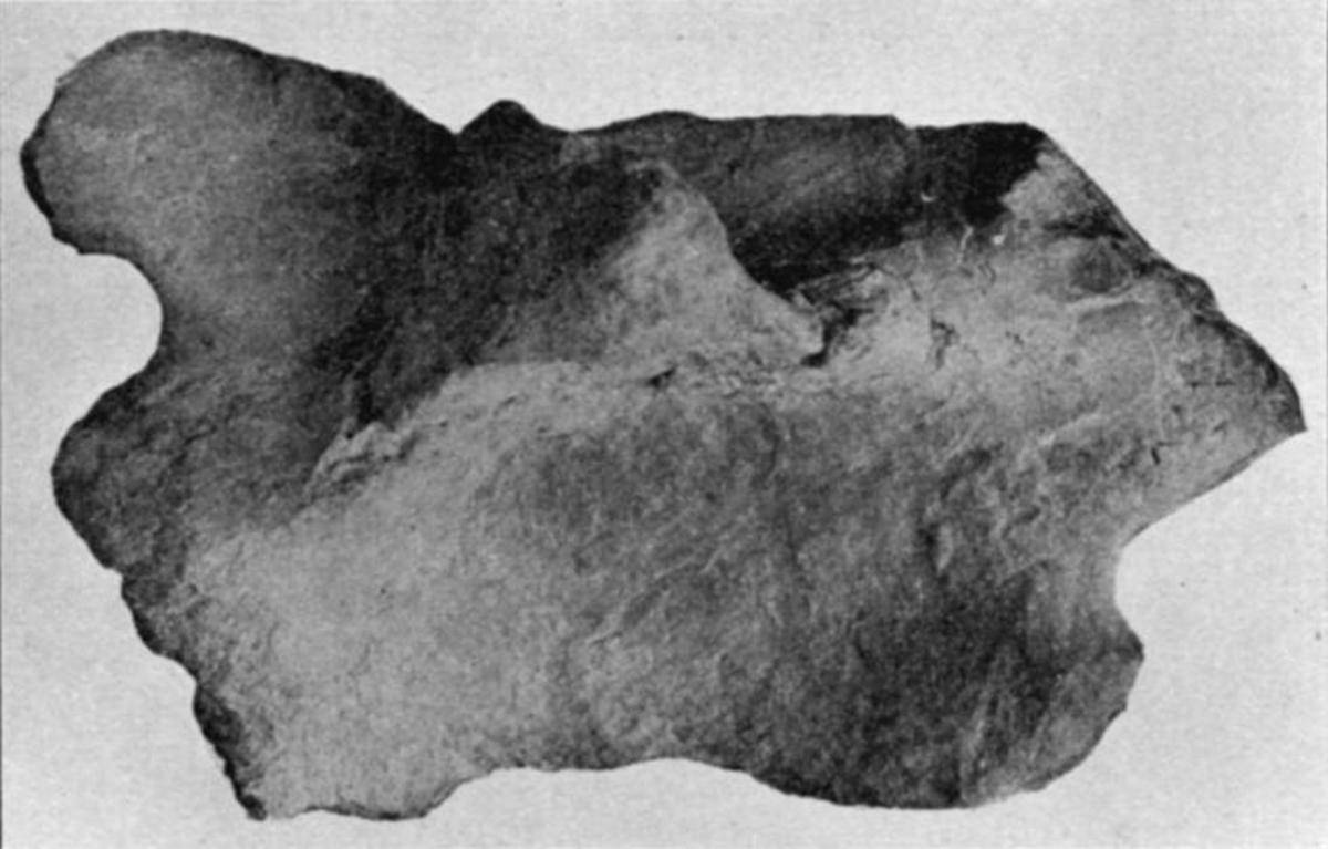 Poposaurus ilium.