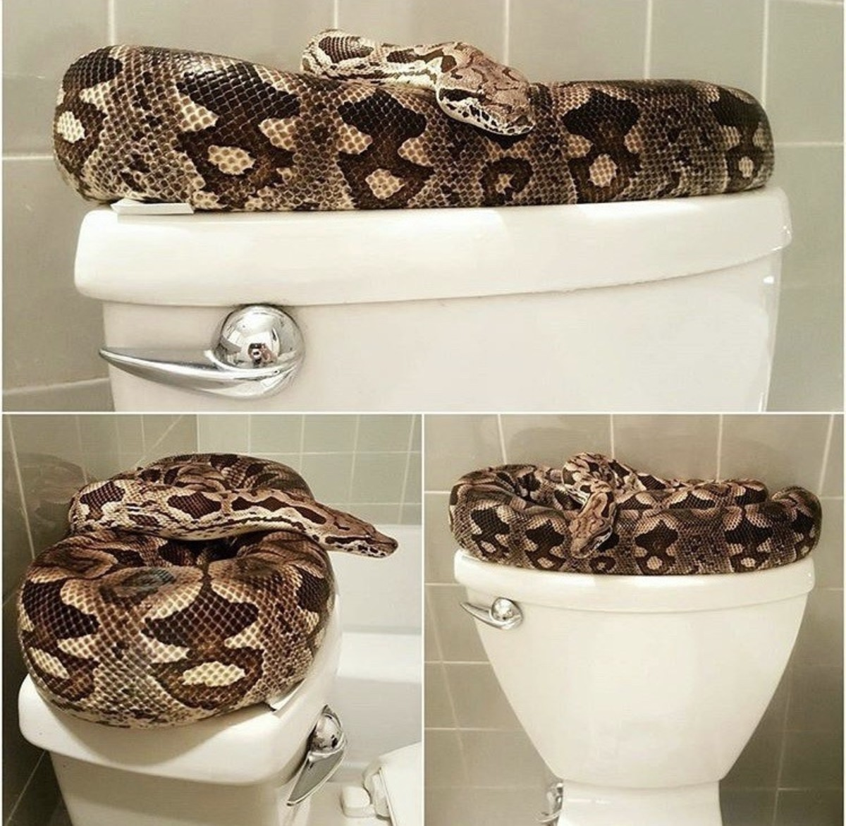 can-snakes-really-come-up-a-toilet