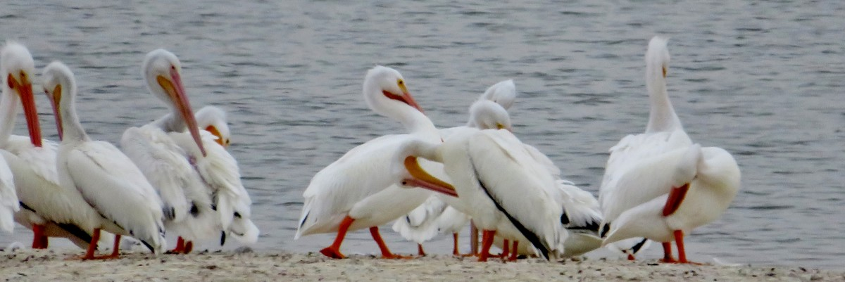 A flock of American White Pelicans at Archbishop Joseph Fiorenza Park
