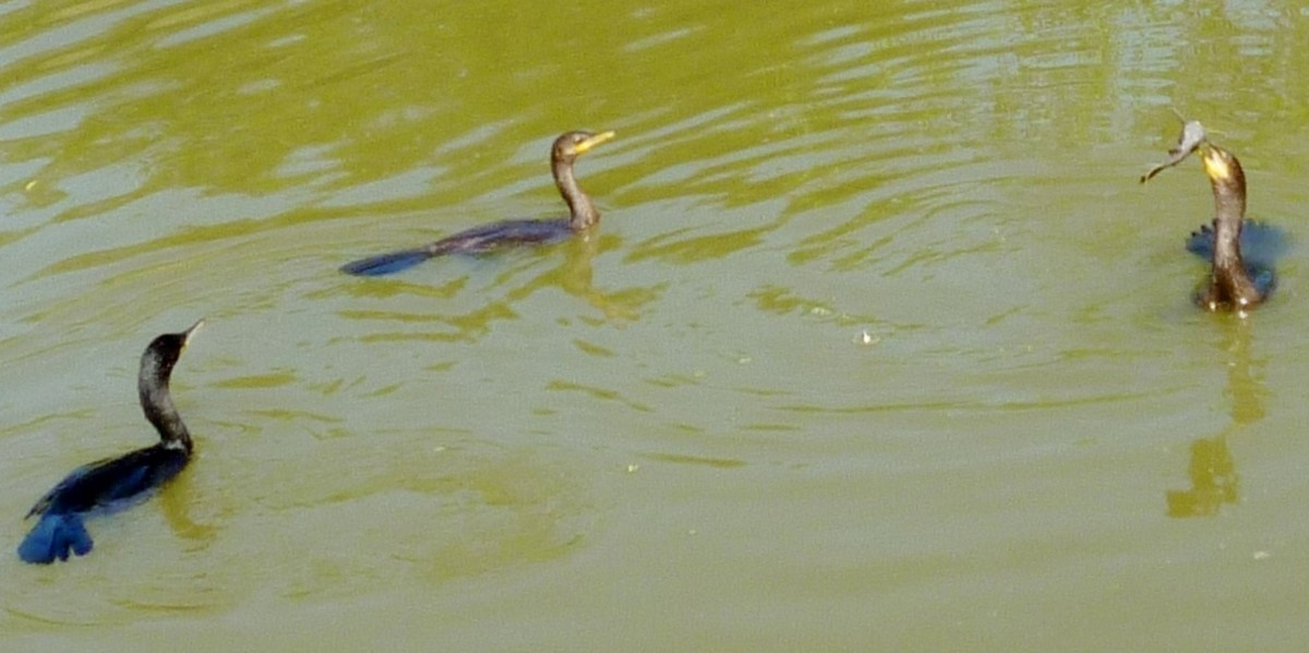 Neotropic Cormorants in Archbishop Joseph A. Fiorenza Park - One has a fish in its mouth!
