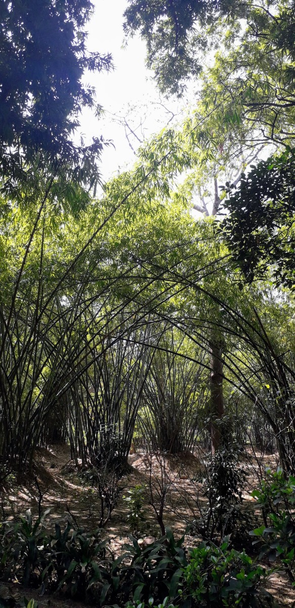 The Bamboo garden at the Lodhi Garden