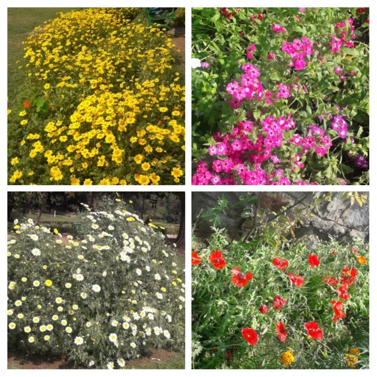 Lovely and colourful flowers in the Lodhi Garden