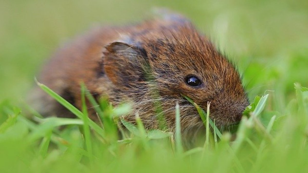 A determined field mouse can chew through plastic, contaminating stored food.