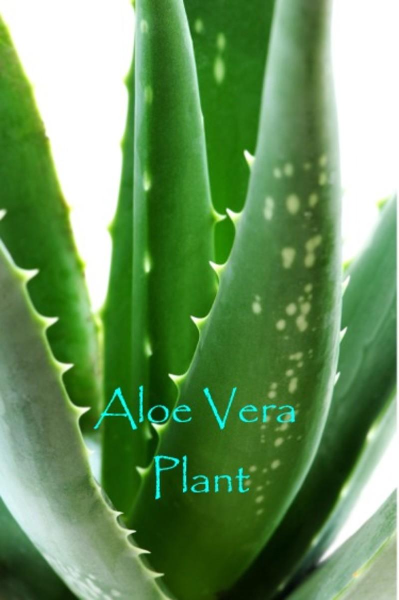 """Aloe Vera ...""""Go Green"""" ...get healthy!"""
