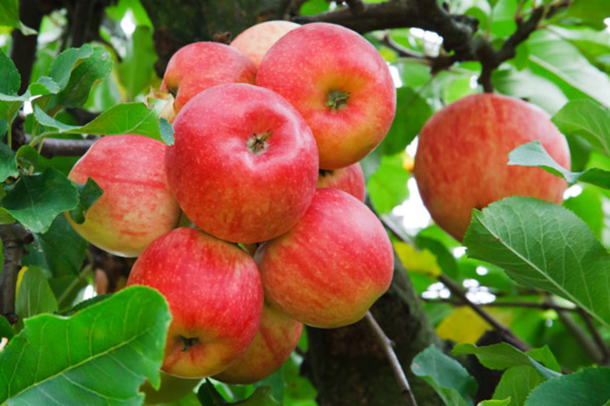 Apples grow in bunches on the tree.
