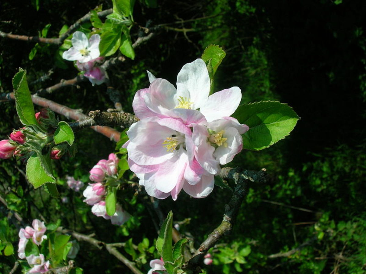 The lovely blossoms attract many pollinators to the orchard.
