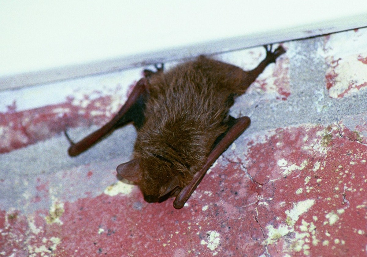 A young brown bat finds shelter under our back carport.