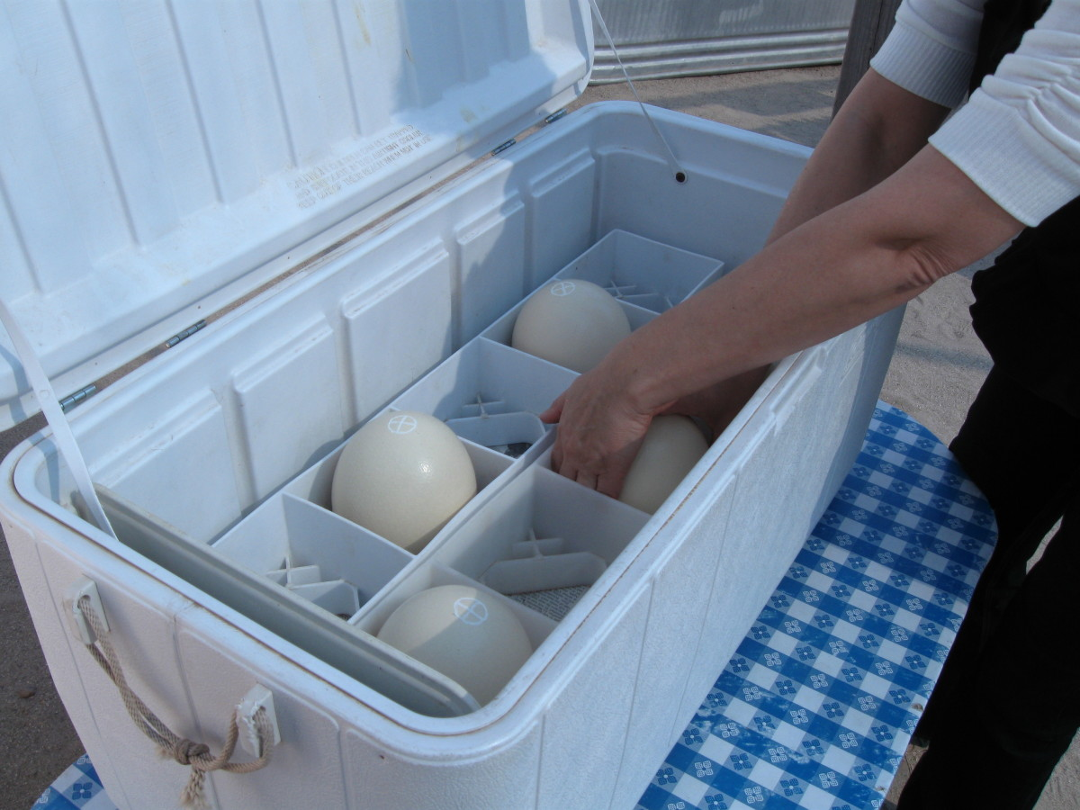 Ostrich Eggs on sale