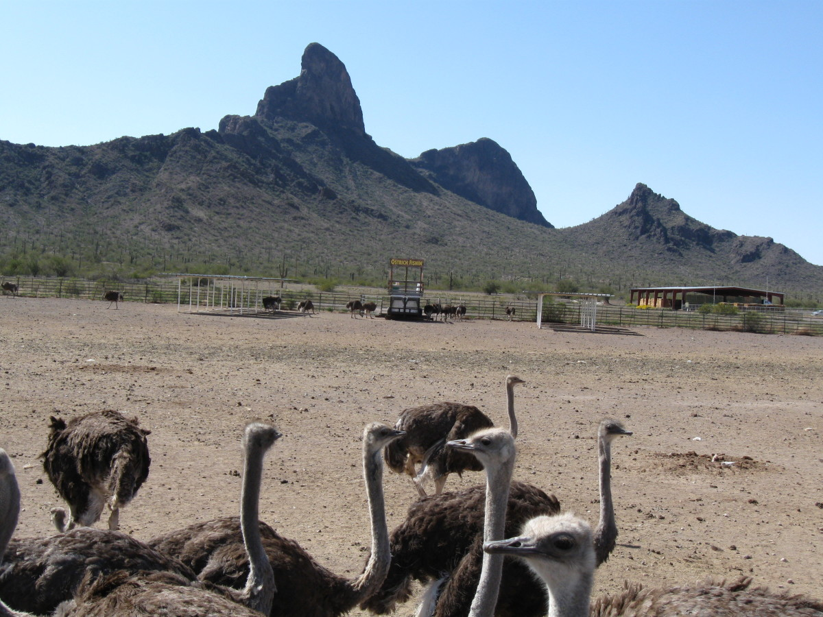 Small part of the Ostrich herd.  Our egg came from one of the Ostrich in the herd.