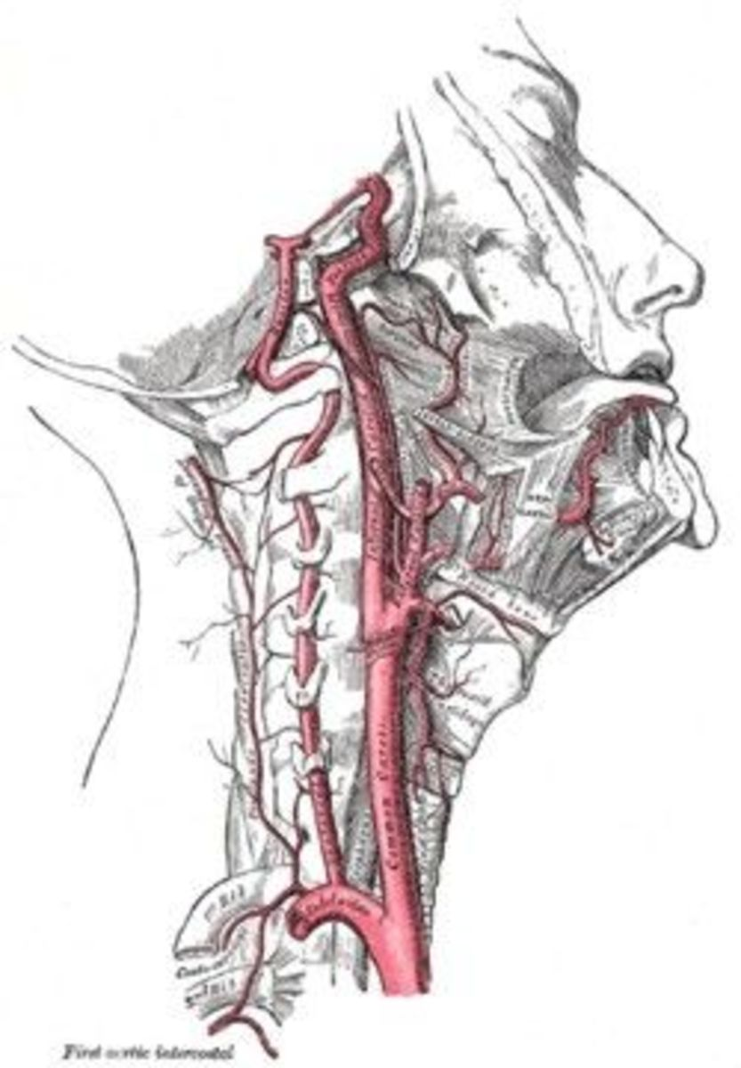 From Grays Anatomy of the Human Body (published 1918) showing the Right Carotid Artery