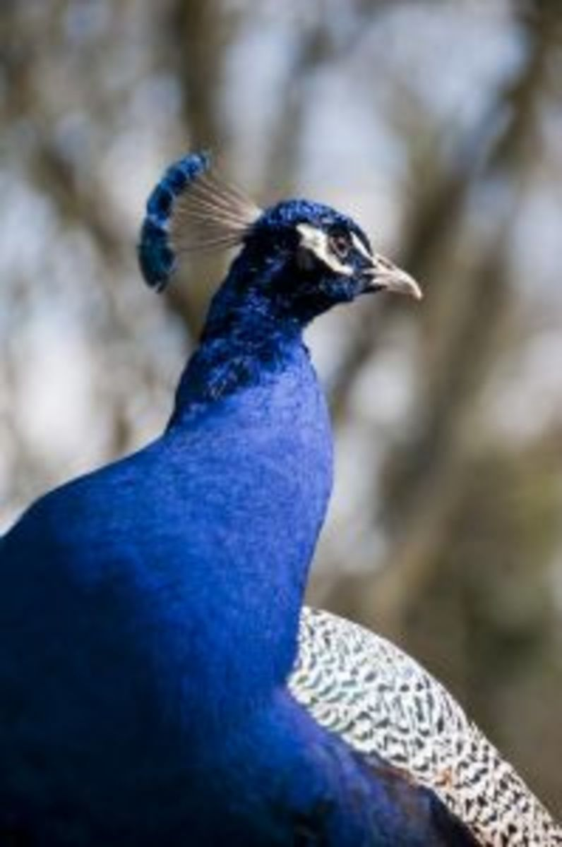 How to Raise Peacocks and Peahens
