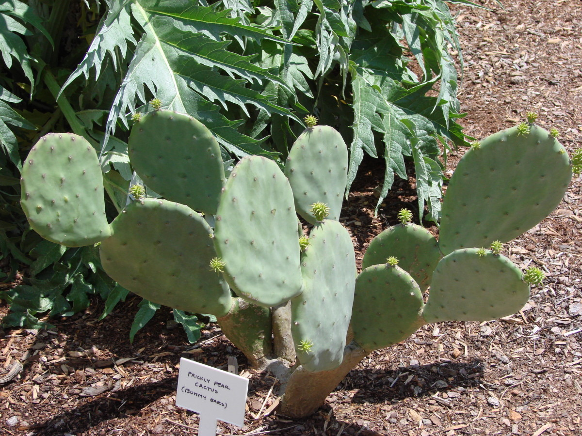 Nopales, or cactus petals, contain substances that slow down the absorption of glucose.