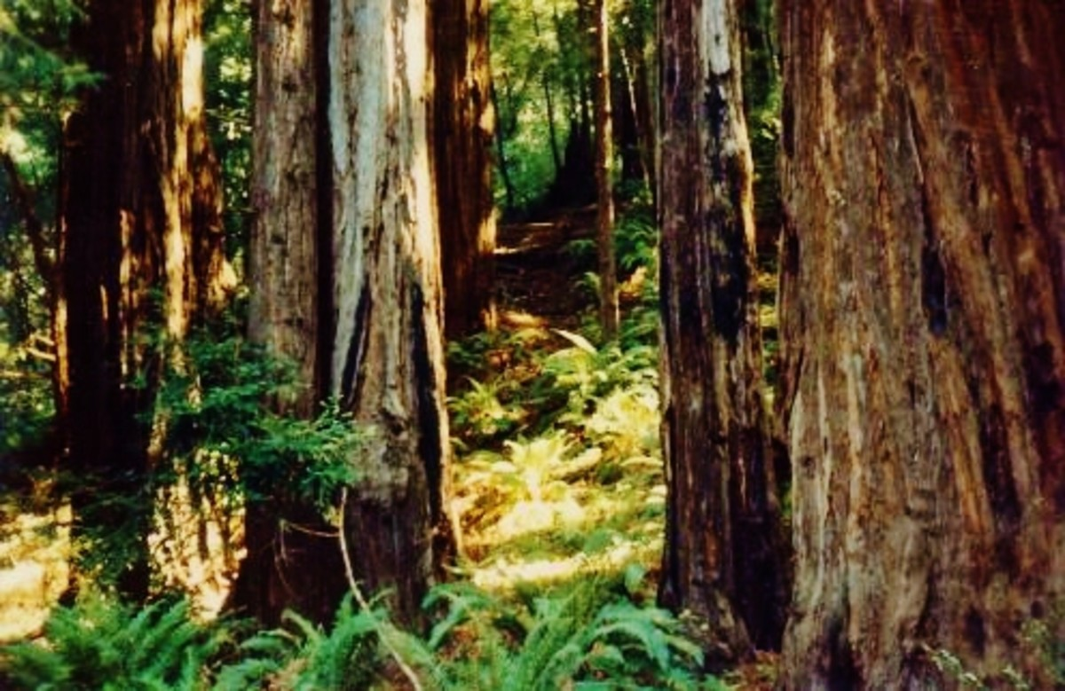Photo taken in Muir Woods / California