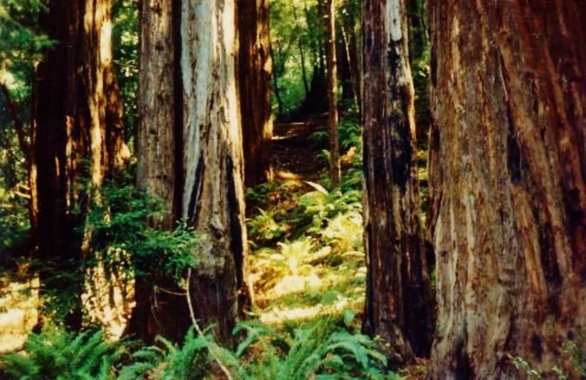 Photo taken in Muir Woods / California