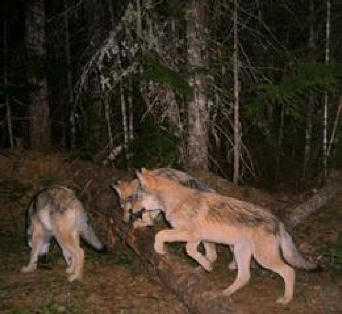 Wolf Pups caught on remote camera