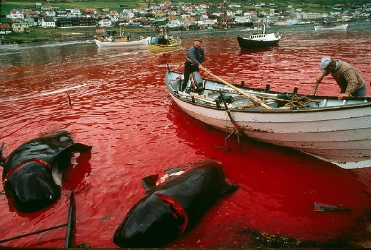 Pilot Whale Slaughter
