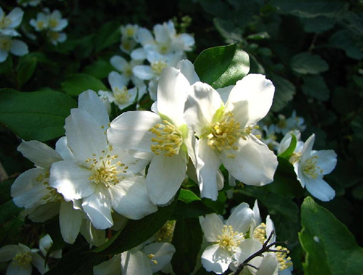 Mock-orange, State Flower of IDAHO