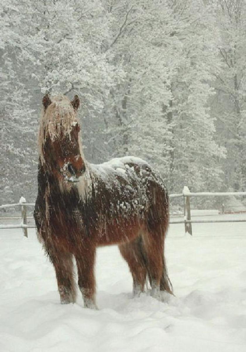 Celandic horse