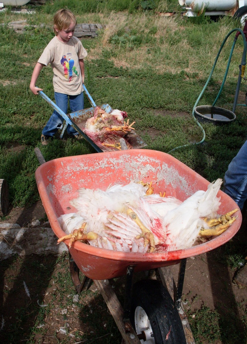 If your work station is not  near the chicken pen, use a wheelbarrow to transport the dead birds. It will get bloody.