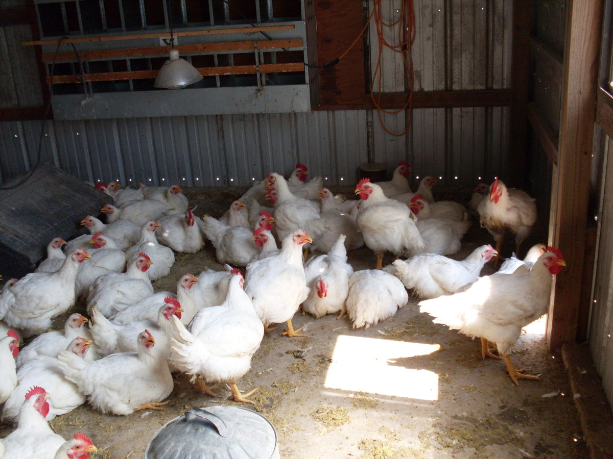 How to Butcher a Chicken, Part 1: Preparing Your Work Space; Killing, Scalding and Plucking Chickens