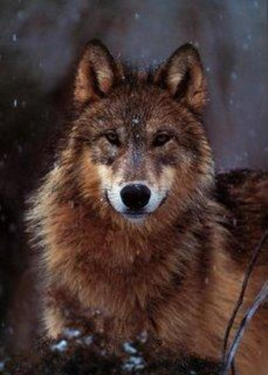 Taylor Lautner wolf