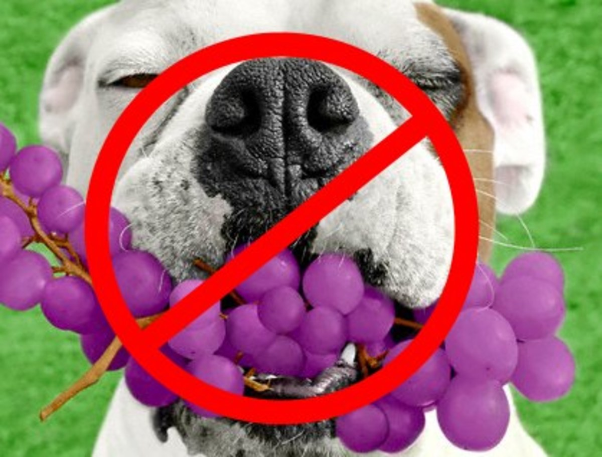 How Grapes and Raisins can kill your dog!