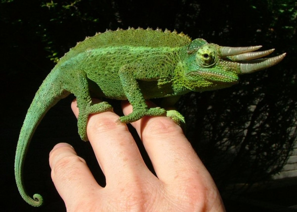 Here is a beautiful specimen of the Jackson's Chameleon.