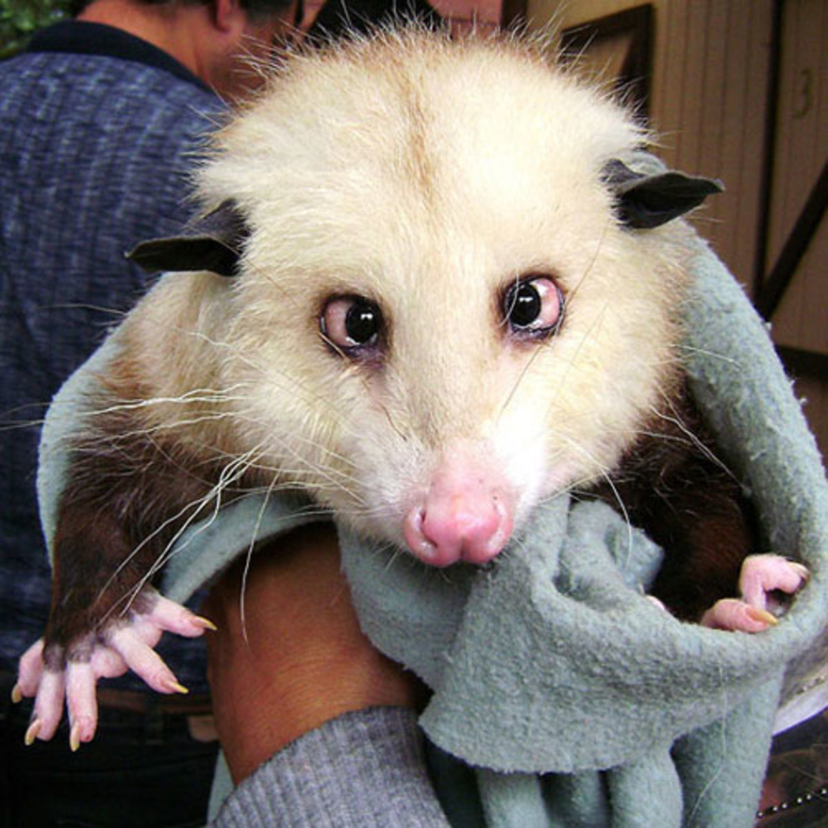 Crazy Bug Eyes Opossum