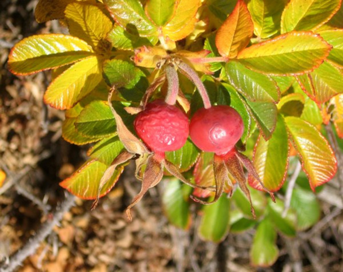 The rugosa rose beginning to show its magnificent fall color.