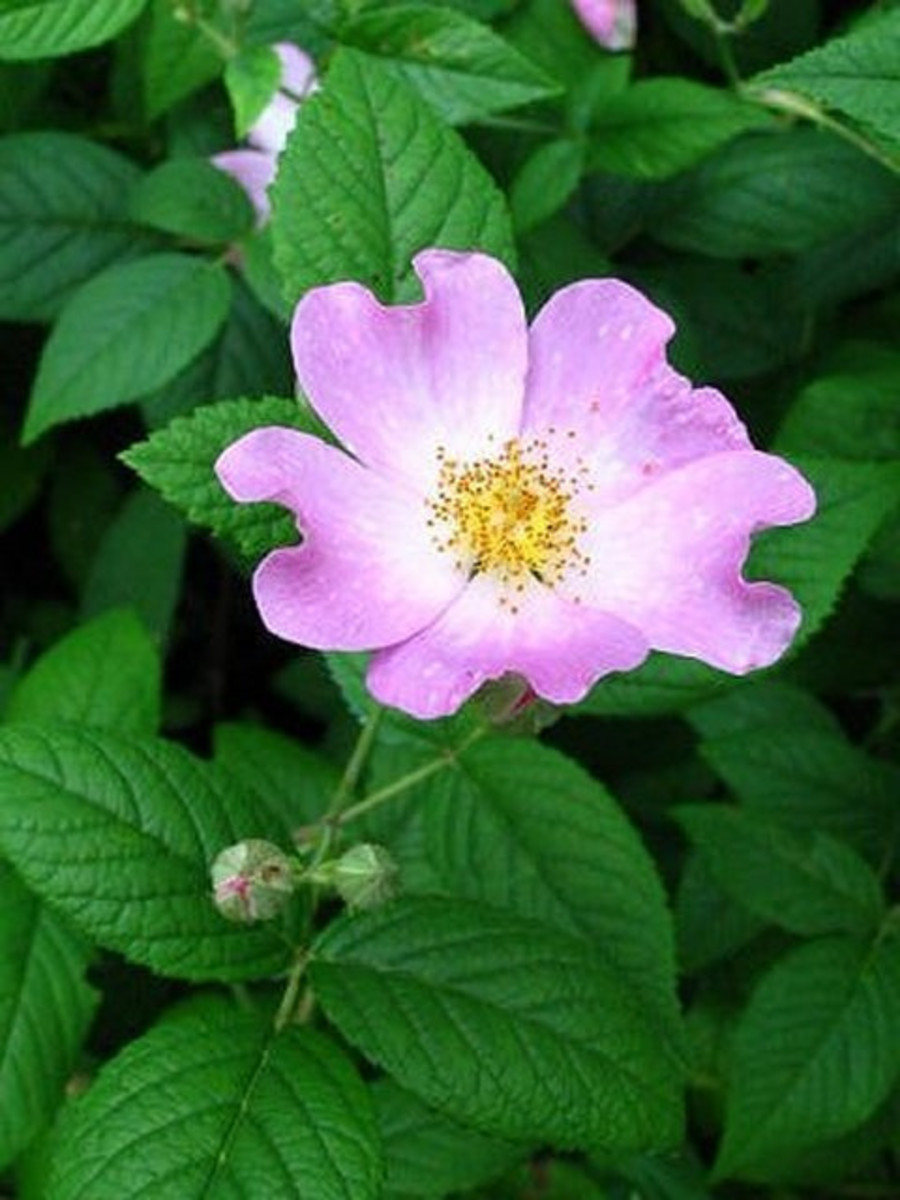 This rugosa resembles a dogwood.