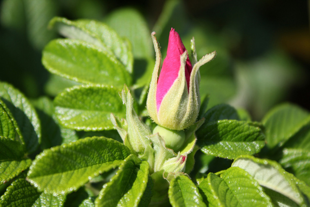 Rugosa Leaves and Bud