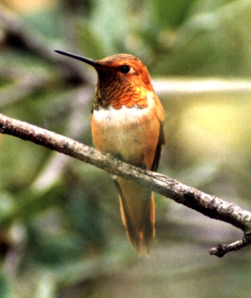 Different species of humming birds: Rufous Hummingbird