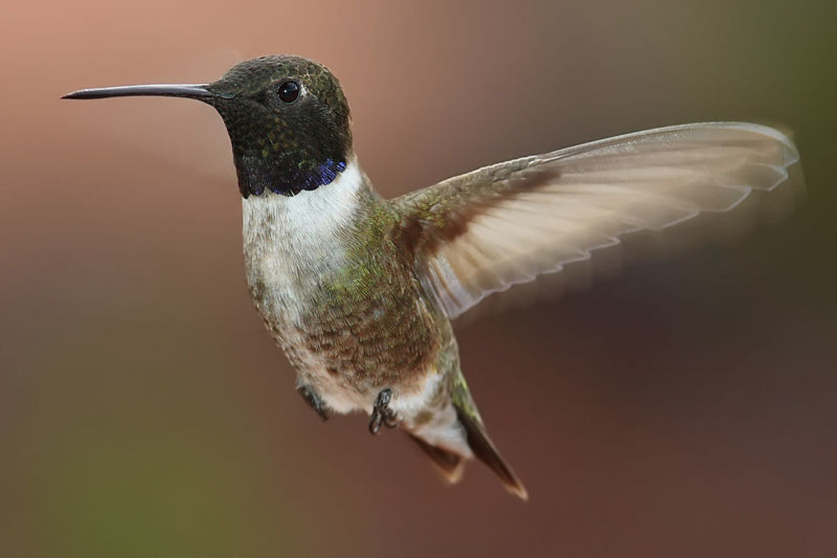 Different species of humming birds : Black-chinned Hummingbird