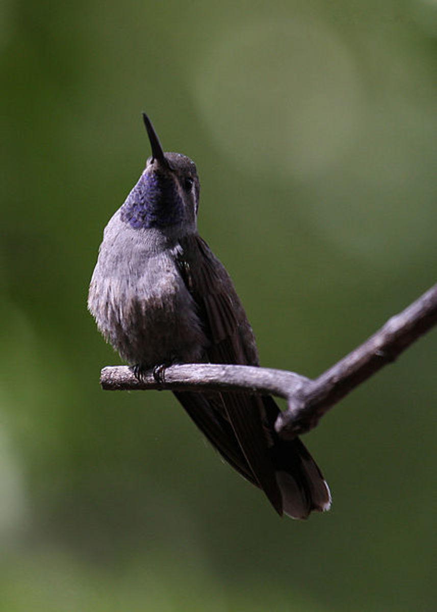 Different species of hummingbirds: Blue-Throated Hummingbird