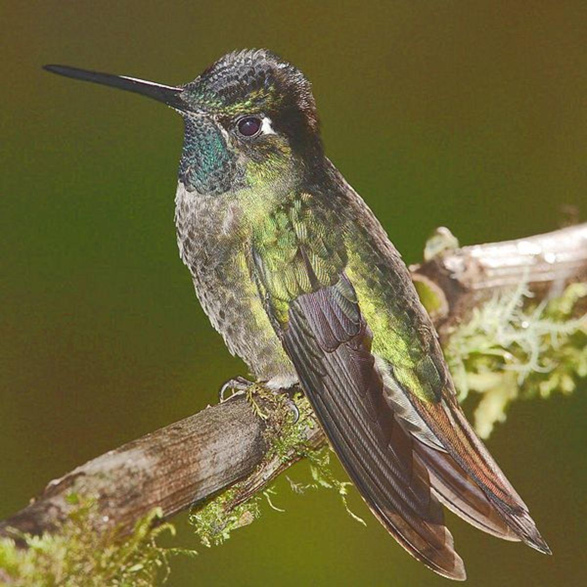 Different species of humming birds: Magnificent Hummingbird
