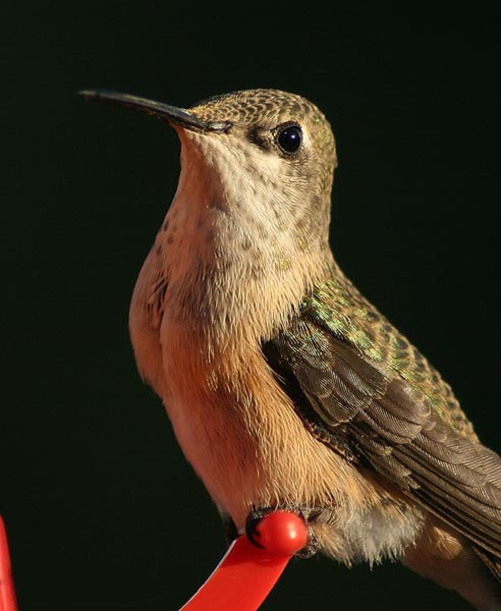 Different species of hummingbirds: Calliope hummingbird